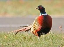 Pheasant_2