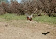 Pheasant_3