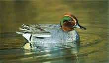 duck_kirkiri