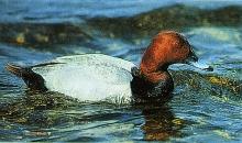 duck_kynigopapia