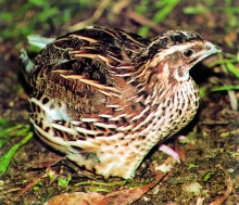 hunting-lost-coturnix_1