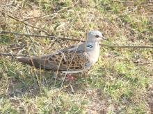 turtle-dove_1