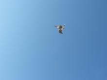 turtle-dove_2