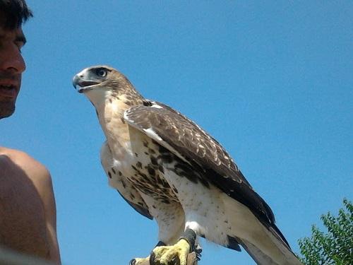 γεράκι red tailed hawk
