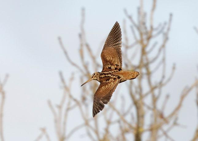 woodcock-mpekatsa