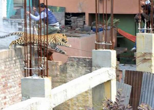 leopardali-stous-dromous-tis-indias