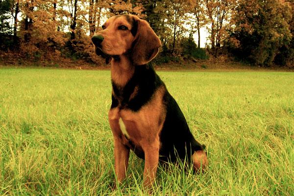 Ποιο σκύλο περιγράφει ο Ξενοφώντας;