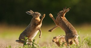 hare_fighting