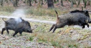 wild-boar-in-hungary