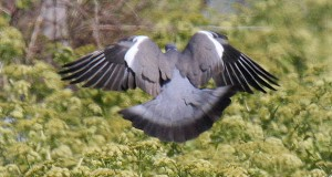 woodpigeon_main