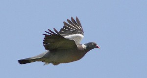 wood-pigeon_main