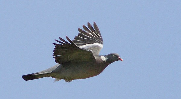 wood-pigeon_main