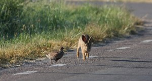 hare_with_partridge