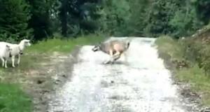sheep vs wolf