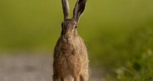 brave_hare