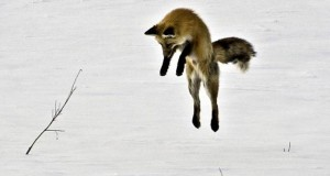 red_fox_diving