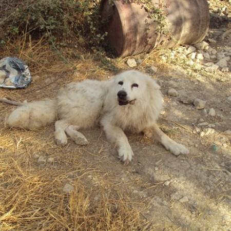 Ένα από τα άρρωστα σκυλιά που κατέληξε από τη λεϊσμανίωση. Φωτο : zoosos
