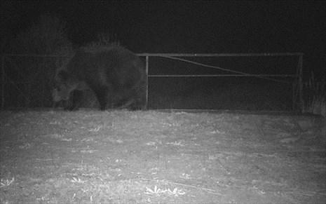 bears_in_tsernobil1