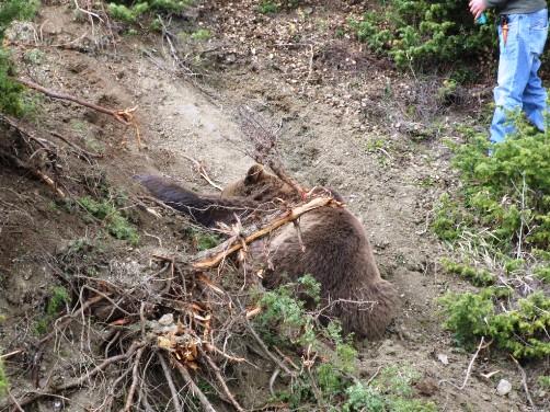 Η παγιδευμένη αρκούδα όπως τη βρήκαν οι 2 κυνηγοί