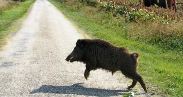 wild boar in the road