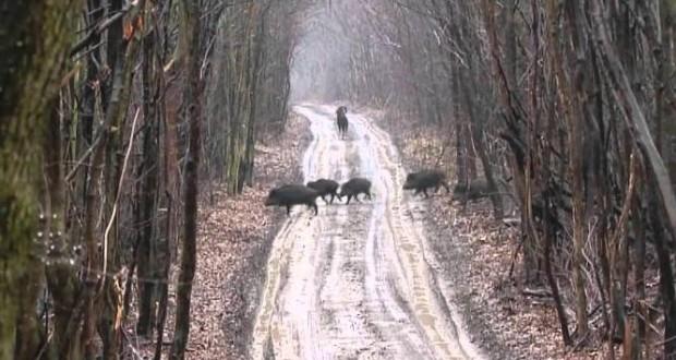 wildboar_hunting
