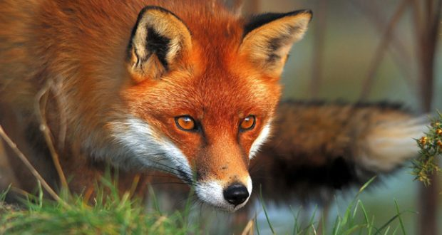 red-fox_aitoloakarnania