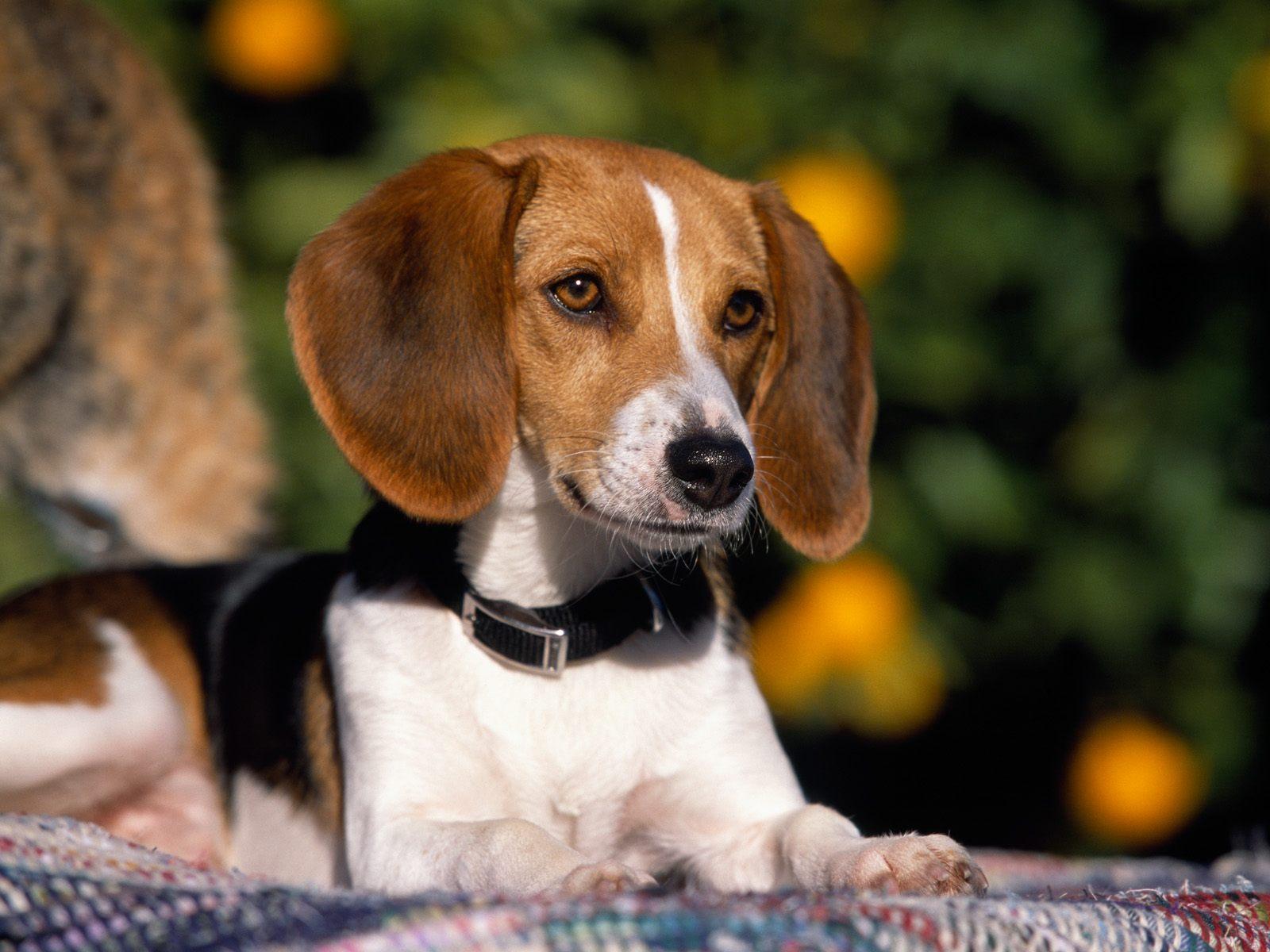 4f3fc635b683 Οι διάφορες ράτσες των κυνηγετικών σκύλων είναι εκπαιδευμένες έτσι ώστε να  γίνονται πολύτιμοι βοηθοί του κυνηγού